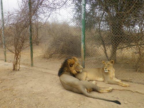 Un couple de lions du parc animalier de Ziniaré (Ph : panoramio.com)
