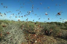 Un aperçu des criquets pèlerins envahissant un champ (Photo: DR)