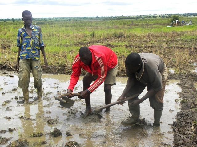 Des riziculteurs d Bagré Pôle en plein travail (Ph : B24)