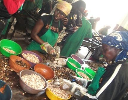 Les employées en plein décorticage des noix de cajou (Ph : B24)