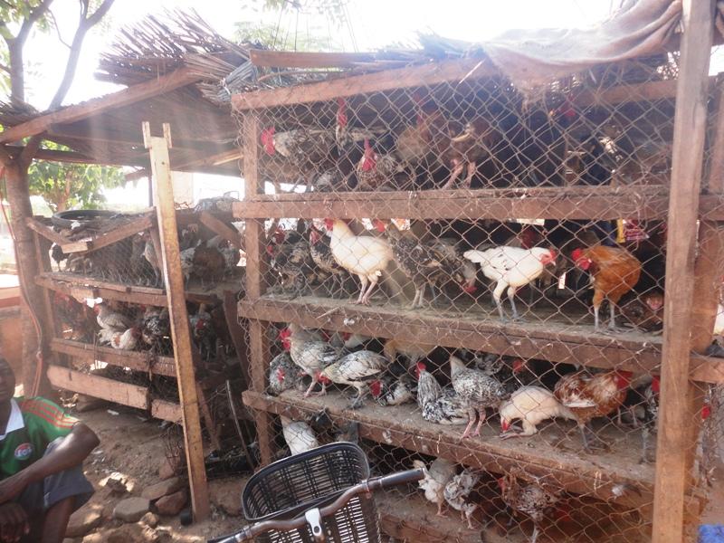 """""""Les sources d'approvisionnement de la volaille étant menacées par la faible production, nous envisageons promouvoir la production villageoise"""" (© Burkina 24)"""