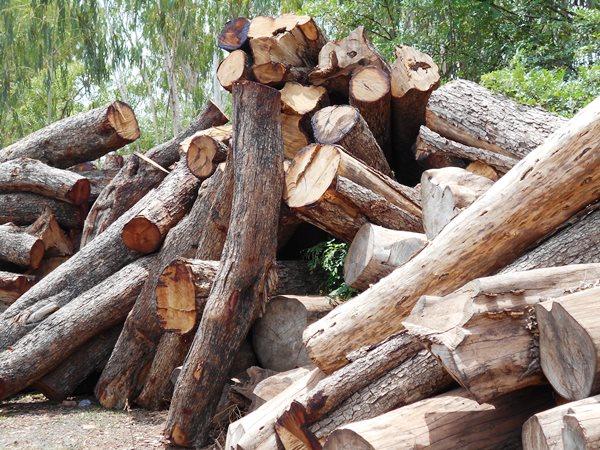 Les troncs d'arbres PTEROCAPUS ERINACEUS