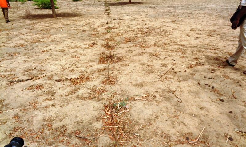 Un exemple de bonnes pratiques (Plantation d'épineux s'étalant sur 5 Km)  et de protection des gerbes du Mouhoun vers Dédougou.