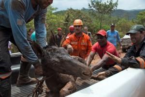 Des pompiers sauvent un poulain resté coincé dans la boue lors de la coulée, à Mariana, au Brésil.
