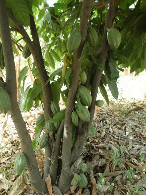 La culture du cacao au Burkina, c'est à Bagré.