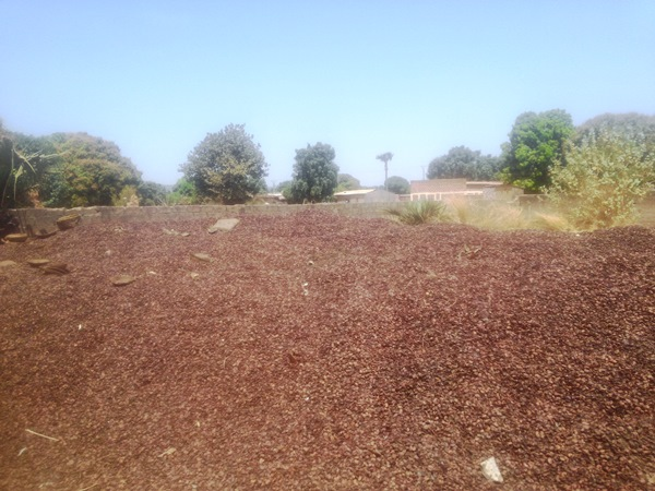 Ces déchets d'anacardiers seront prochainement transformés en compost